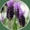 cantueso lavanda ingredientes Dehesia Cosmética EcoNatural