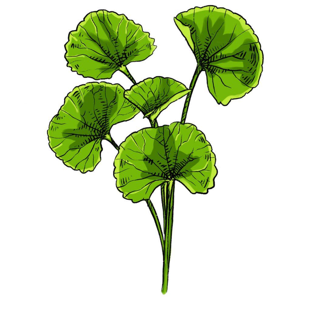 Centella Asiatica Cosmetica Natural Dehesia