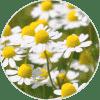 manzanilla ingrediente de Dehesia Cosmética EcoNatural