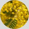 mimosa ingrediente Dehesia Cosmética EcoNatural