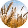 aceite de germen de trigo ingredientes Dehesia Cosmética EcoNatural